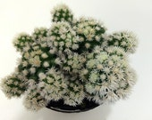 Cactus Plant. Arizona Snowcap is a hybrid of the Thimble Cactus with dense, white, clustering spines!!