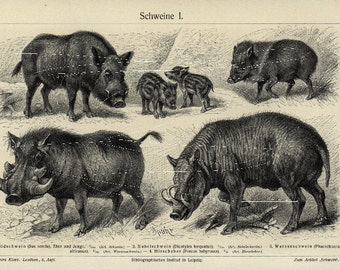 Original Antique  German Encyclopeida Black and White Animal Print-  Boars- WIld Boars - Pigs