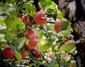 Apple Tree Photograph - Nature Art - Wall Decor - New York Orchard - Food (Fruit) Photograph