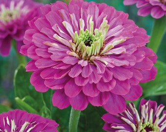 75 - Purple Zinnia Seeds - Purple Prince - Heirloom Zinnia Seeds, Non-gmo Zinnias, Heirloom Flower Seeds, Non-gmo Flower Seeds, Annual Seeds