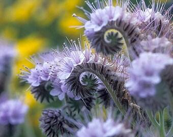50 - Heirloom Tansy Seeds - Purple Fiddleneck - Unusual Flower Seeds, Purple Tansies, Purple Tansy Seeds, Fiddleneck Seeds, Wildflower Seeds