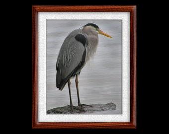 Great Blue Heron Print - 8x10 Great Blue Heron Photograph - Bird Photograph - Bird Print (P23)