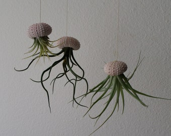 PRICE REDUCTION!  NEW Three different air plants set in hanging sea urchins. Please read description prior to purchase!