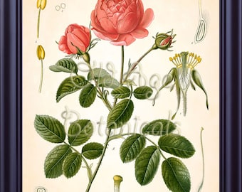 KOHLER Botanical Print 8x10 Antique Art Print Vintage Plate Chart Red Pink ROSE French Summer Garden Flowers Kitchen Wall Art Decor BF0741