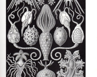 1899 Original Ernst Haeckel Print Amphoridea Marine Life Kunstformen Natur 1st Pl 95 Antique Print