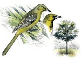 Hooded Oriole watercolour - bird art, wildlife art - nature print of original artwork
