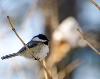 Chickadee photograph, songbird photograph, birding, 5x7 print, fine art photograph, home decor, animal photo, woodland artwork