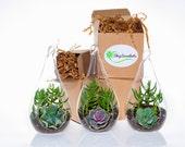 Shop Succulents Decorative Glass Succulent Design Trio