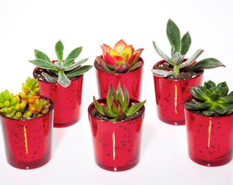 Succulent Assortment Votive Kit (HOLIDAY-RED-1002)
