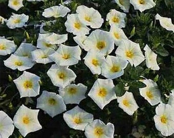 Morning Glory- Ensign White- 50 seeds