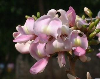 50 Gliricidia sepium Seeds, Madre de Cacao Seeds,