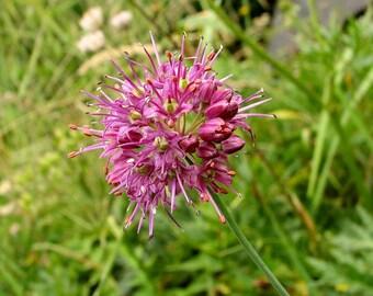 10 Seeds Allium kermesinum,