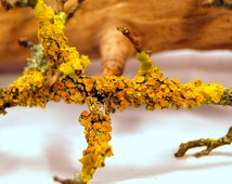 5 Real branches with live yellow lichen growing on them,twigs with lichen,For terrarium, for vivarium,terrarium decor,decoration sticks,real