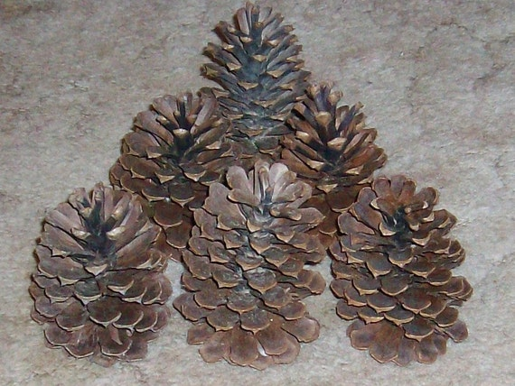 50 large pine cones 4 inch to 5 inch size holiday by seacraig for Large christmas pine cones