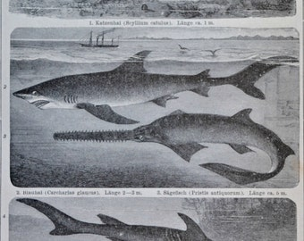 Fishes print. Elasmobranchiis. Sharks, rays. Natural history engraving. 1901. Old book plate. 114 years  lithograph.9'6 x6'2 inches.