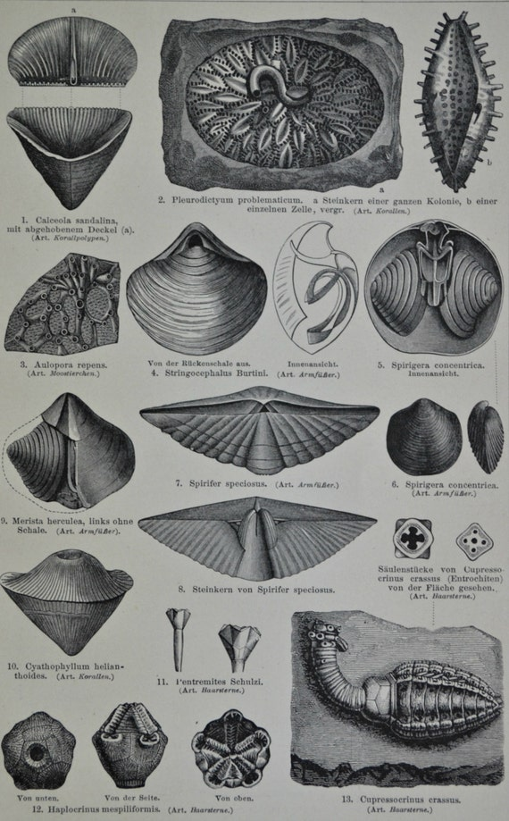 Devonian period fossils print.Paleontology.Natural history.Old book plate,1897.Antique illustration. 117 years lithograph. 9'6 x 6'2 inches.