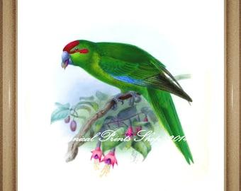 "Bird Print. Kakariki. Parakeet. 5x7"", 8x10"" 11x14"""