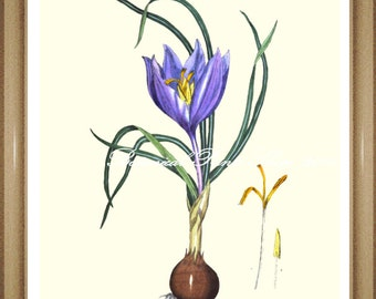 "Botanical Print. Crocus. Blue Flower Print. Saffron Crocus. 8x10"""