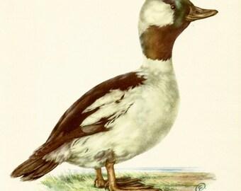 VINTAGE BIRD ILLUSTRATION Buffel-Headed Duck Bird Print Lodge and Country Home Decor Vintage Animal Wall Art (ham52)