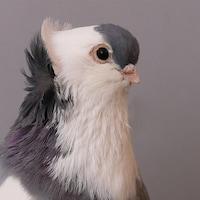 pidgeonhq