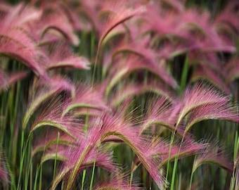 Foxtail Barley Ornamental Grass Seeds (Hordeum jubatum) 50+Seeds