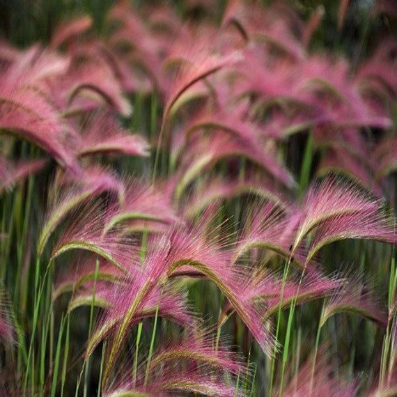 Foxtail barley ornamental grass seeds hordeum jubatum for Full sun perennial grasses