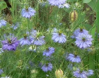 Love in a Mist (Nigella damacena) - Organic Flower Seeds 1 Gram