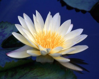 White Water Lily Fine Art Photography Wall Photo Print, Nymphaeaceae Lilypad Pond Flower Blue Water Spring Floral Garden Bouquet