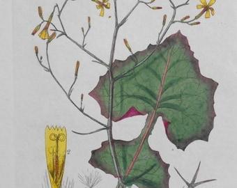 1835: Ivy-Leaved Wall-Lettuce, Muralis.  Original Botanical Antique Engraving. Handcolored. Vintage Baxter Flower Print Botany Wildflower