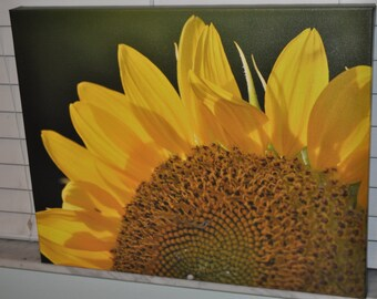 Sunflower in the morning sun.