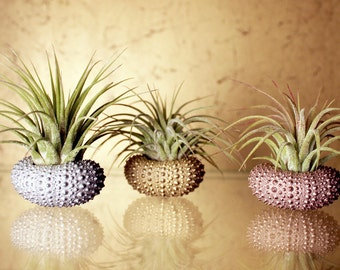 metallic trio // air plant sea urchins // by robincharlotte