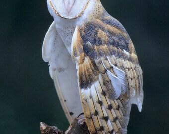Barn Owl, 8x10 Bird Photograph, Wildlife Nature Photo, Wild Animal Print, North Woods Cottage Cabin, Wise
