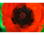 Big Bold Orange Poppy Photograph, Fine Art Print, 5x7 8x10 12x16 16x20, Home Wall Art, Garden Flower