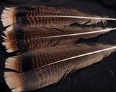 x3 Real Wild Turkey Feathers: WT10 - meleagris gallopavo merriami