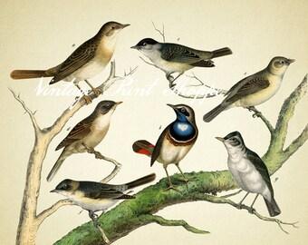Vintage bird art print Scientific Illustration reproduction print 5x7 art Home Decor Naturalist Vintage print colorful song birds