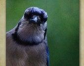 Blue Jay Photograph, Bluejay, Bird Photography, Animal Photography, Woodland Creature, Bird Print, Bird Wall Decor, Blue, Bird Portrait, Art