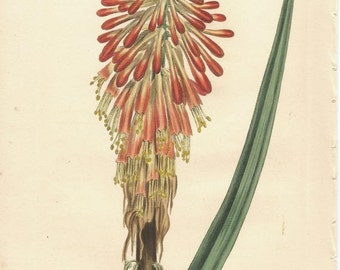 Antique Botanical Print/Engraving with original hand-coloring from Curtis' Botanical Magazine, Serrulate-leaved Tritoma, 1808