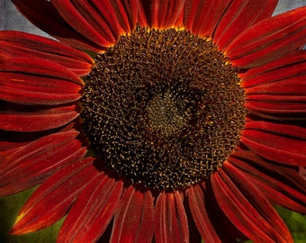 Primitive Sunflower 2, Photography,  Floral Photography, Botanical Photography