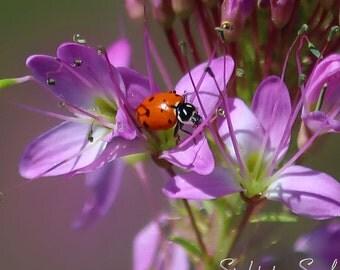 Ladybug Gifts, orange lady bug on lavender flowers, nature photography, ladybug art, macro photography, fine art print