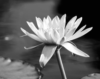 Water Lily art print, flower photo, black and white photography, large paper or canvas picture, floral wall decor 5x7 8x10 11x14 16x20 24x36
