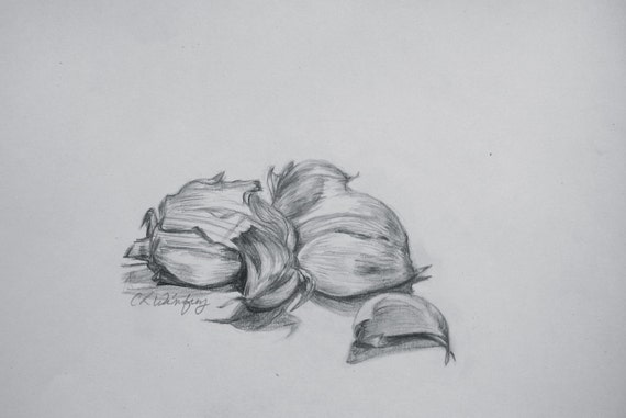 Clove Drawing Garlic Cloves Pencil Drawing