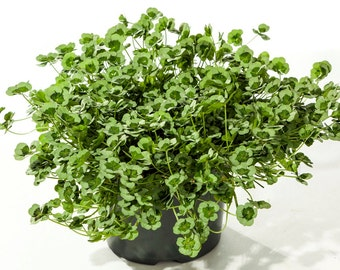 """Green Glow Shamrock 4 Leaf Clover -Trifolium - Indoors or Out - 4"""" Pot"""