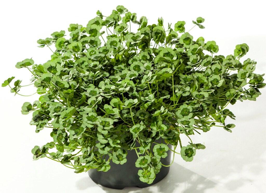 Green glow shamrock 4 leaf clover trifolium indoors or out - Shamrock indoor plant ...