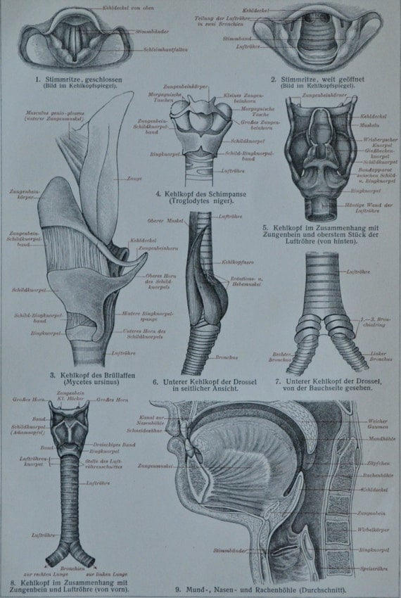 Human larynx print. Old book plate, 1904. Antique  illustration. 110 years lithograph. 9'6 x 6'2 inches.
