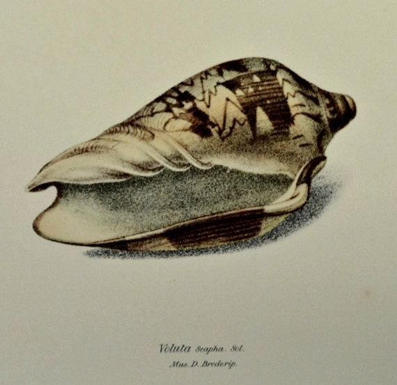 Cymbiola nobilis  or Voluta Scapha.  Exotic conchology print. 1968. Vintage book plate. Shell print. 11'3 x 9'2 inches.