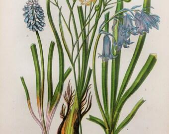 Anne Pratt Antique Botanical Print - Simethis, Bluebell, Grape Hyacinth (223)
