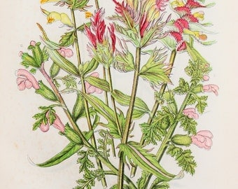 Anne Pratt Antique Botanical  Print - Cowwheat, Lousewort (153)
