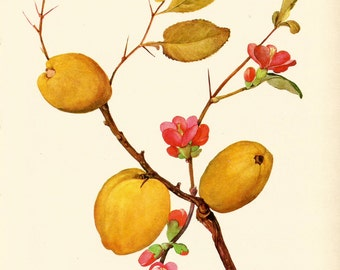 VINTAGE SHRUB QUINCE Tree Art Print 1969 Botanical Gallery Wall Art Home Decor - Perfect Gift for Wedding, Birthday, Graduation (Shrub 3)