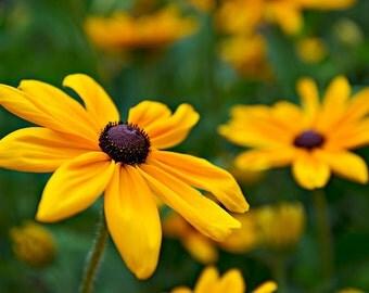 Black Eyed Susans Photograph, Fine Art Print, Flower Photography, Nature, Flower Art, Focus on Susan