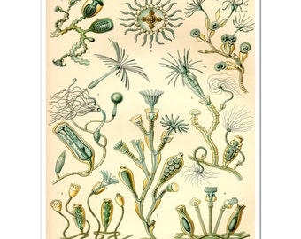 Ernst Haeckel Print, Biology, Whimsical Science Art, Poster, Science Wall Art, Educational Art, Natural History Art for a Science Teacher